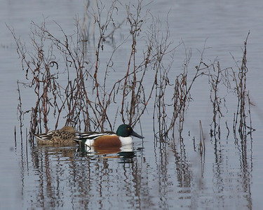 Northern Shoveler, December 2010