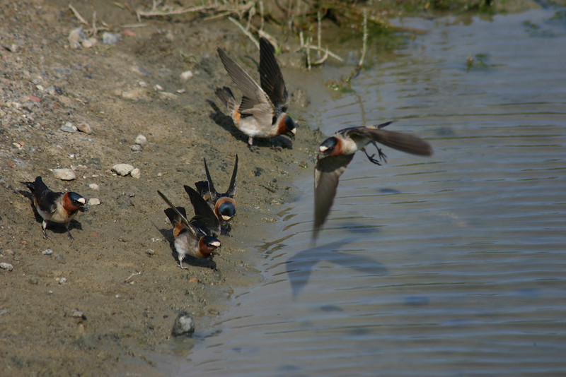 Cliff Swallows, East Bay, April 2006