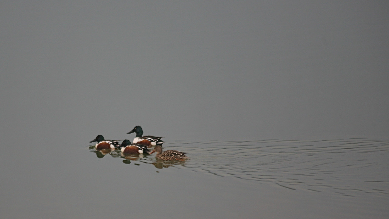 Shovelers, Las Gallinas Valley Wetlands, San Rafael, California, December 21, 2008