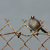 White-crowned Sparrow, April 2006