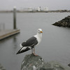 Western Gull, San Diego, May 2008