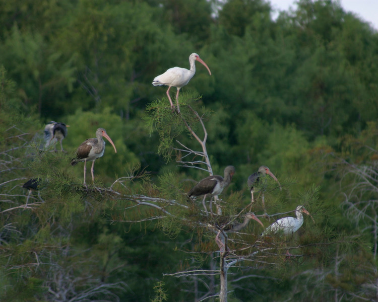 White Ibis, Everglades, October 2008