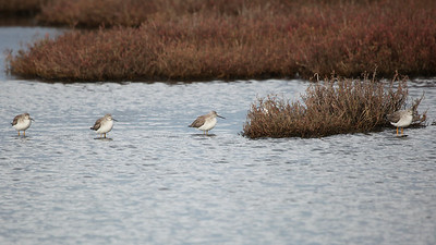 Five Spotted Sandpipers, December 2010