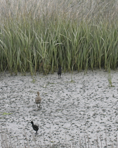 Light-footed Clapper Rail with chicks, Tijuana Estuary, May 2008