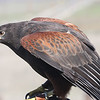 Harris Hawk<br /> Now rare in Southern California.<br /> This is the only raptor that hunts in family units and makes electrocution from multiple birds spanning electric lines very common, restricting its current habitat to areas with few power lines.