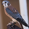 American Kestrel<br /> Male?