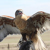 Ferruginous Hawk<br /> White tail in flight is good distinguishing characteristic