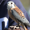 American Kestrel<br /> Female?
