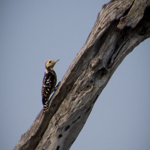 Yellow-fronted Pied Woodpecker