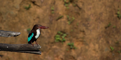 Kingfisher at The Mansion