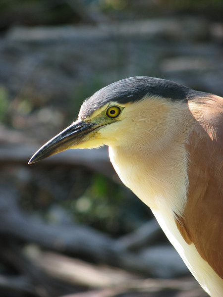 Rufous Night Heron Face