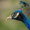 Peacock; 12x12