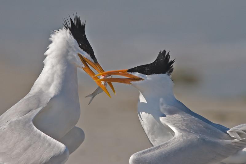 Royal Tern Mating Ritual