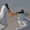 Royal Tern Mating Ritual