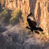 Verraux's Black Eagle