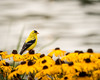 American goldfinch in a bed of black-eyed susans; 8x10