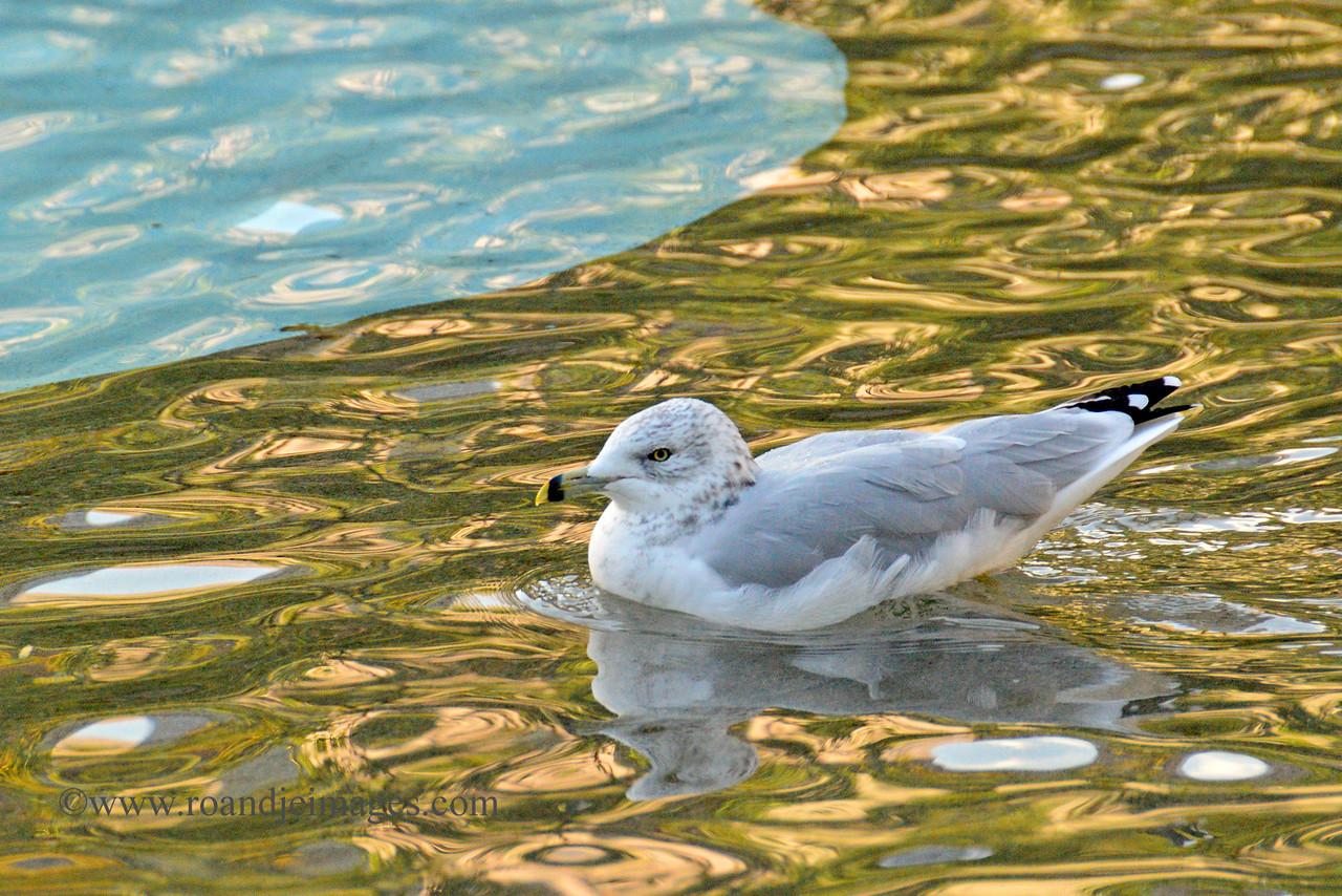 Gull- Olympic Plaza, Calgary, Alberta, Canada