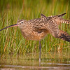 Longbilled Curlew, Wing Stretch