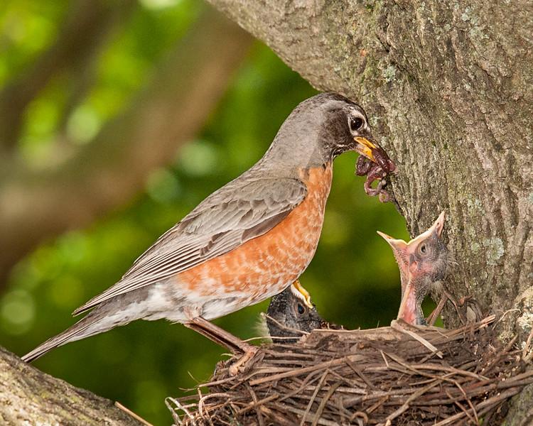 robin feeding its young; 8x10