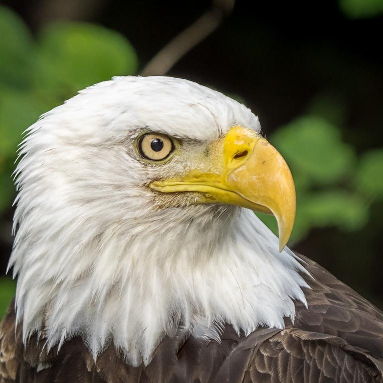 Bald Eagle; 8x8