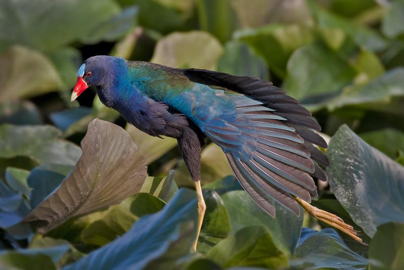 Purple Gallinule Wing Stretch