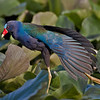 Purple Gallinule Wing Stretch