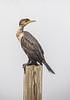 Juvenile double crested cormorant
