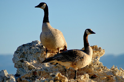 Canadian Geese on a Tufa