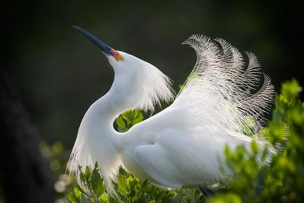 Snowy Egret shows Breeding Plumage