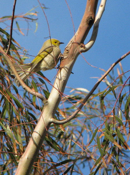 White-plumed  Honeyeater 1