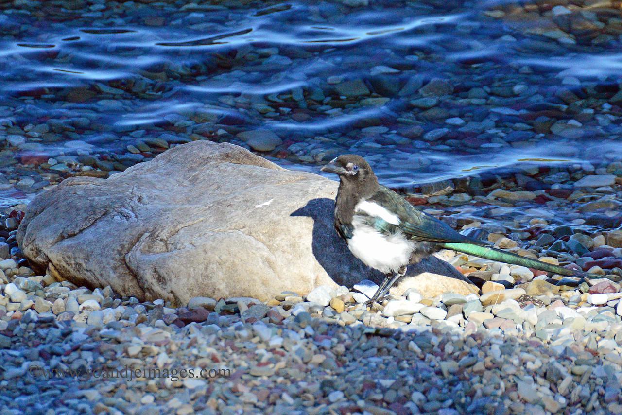 Magpie- Waterton Lake, Alberta, Canada