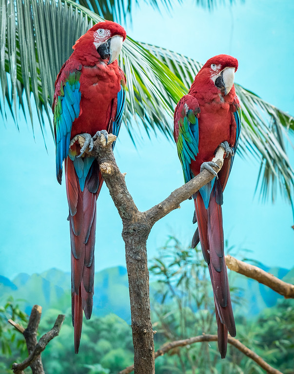 green winged macaws; 11x14