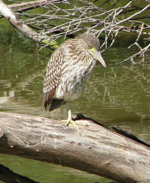 Rufous Night Heron Juvenile