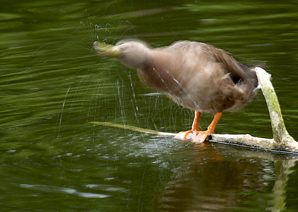 """the shake""; female mallard duck; 5x7"