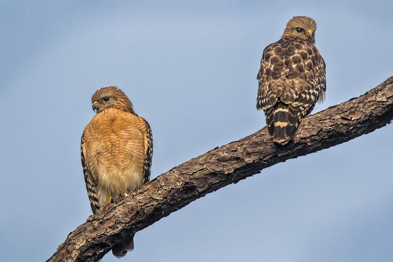 Pair of Red-Shouldered Hawks