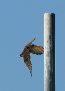 Brown Falcon - Flying