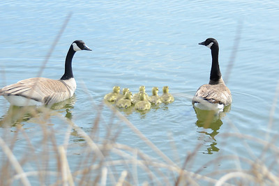 A Famly of Geese Take to the Water