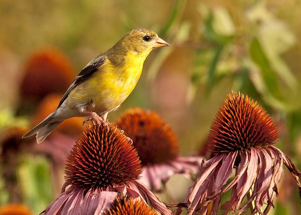 female American Goldfinch; 5x7