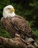 Bald Eagle; 11x14