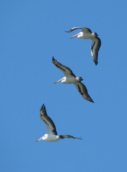 Pelicans - 3