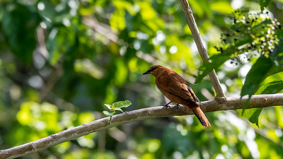 Black Cicadabird, Kuckuckhund oder Neu-Guinea-Cicadabird