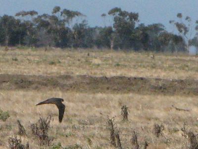 Australian Hobby - Flying 2