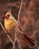 female cardinal; 8x10