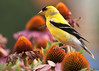 male American Goldfinch; 5x7