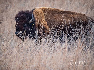 Bison at Tall Grass