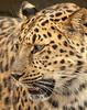 Amur Leopard; 11x14