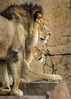 Lions; 5x7