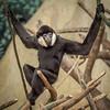 male white cheeked gibbon; 12x12