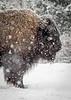 bison; 5x7