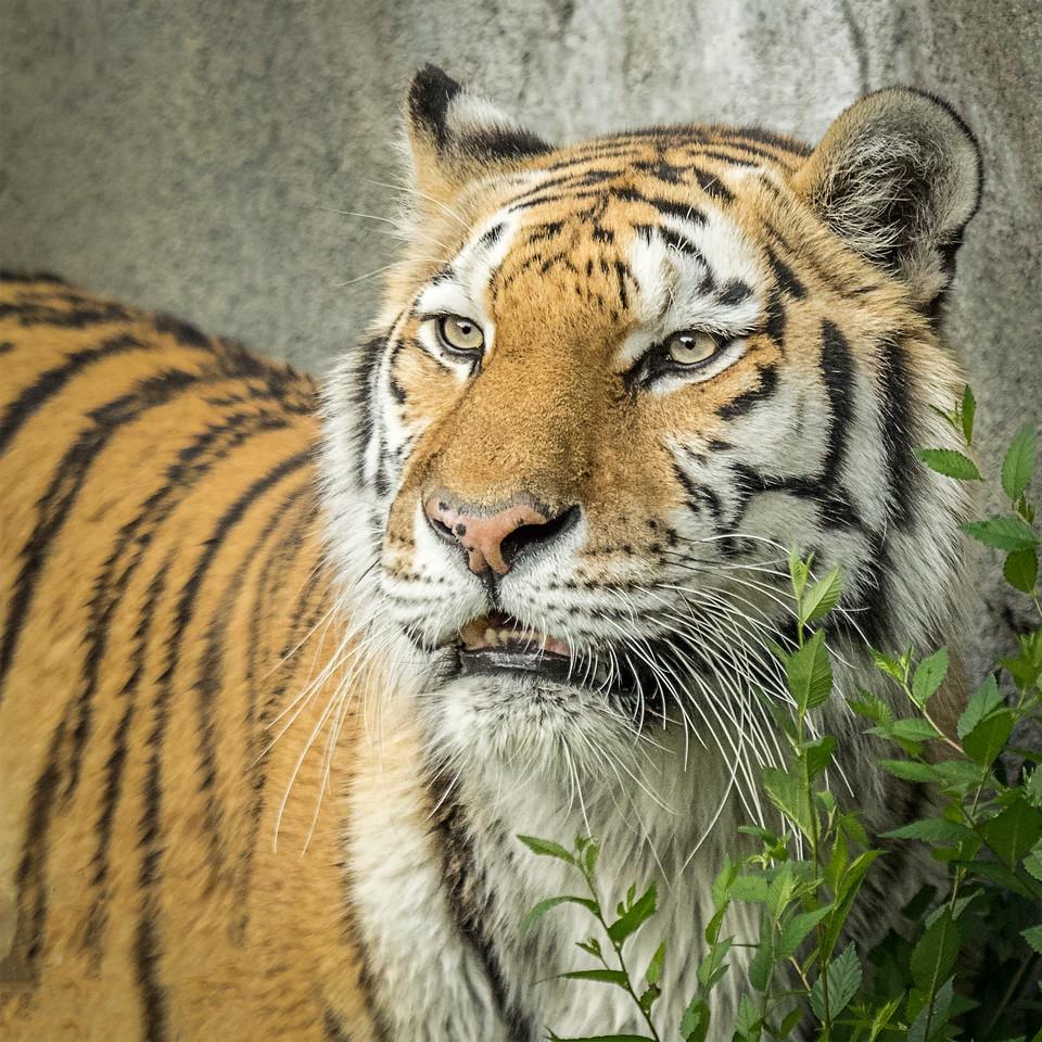 Amur Tiger; 10x10